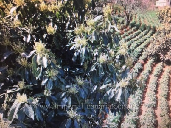 Sehr gepflegte Finca mit im baubefindliches aber legalisiertes Haus voll mit Fruchtbäume.